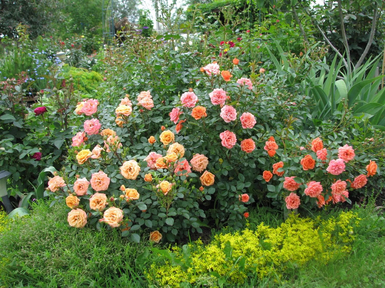Бордюрные цветы фото розы