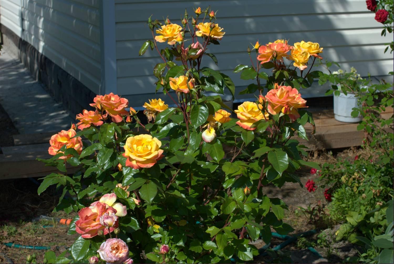 одно 1 роза сколько стоит славяне: расселение занятия
