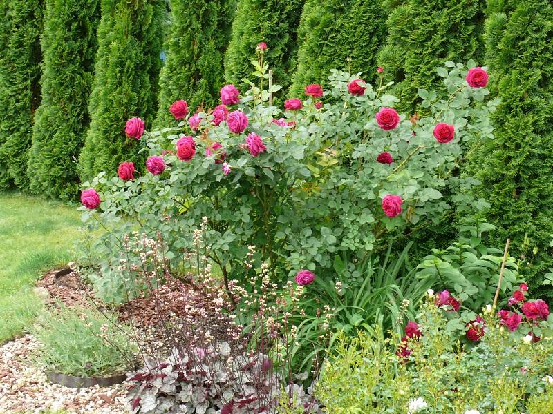 Какие растения можно сажать рядом с виноградом 46