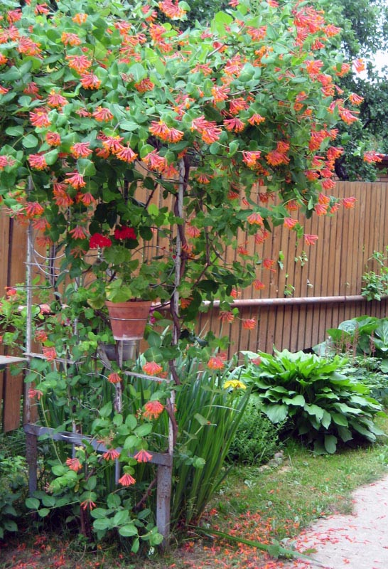 Жимолость в саду выращивание и уход 42