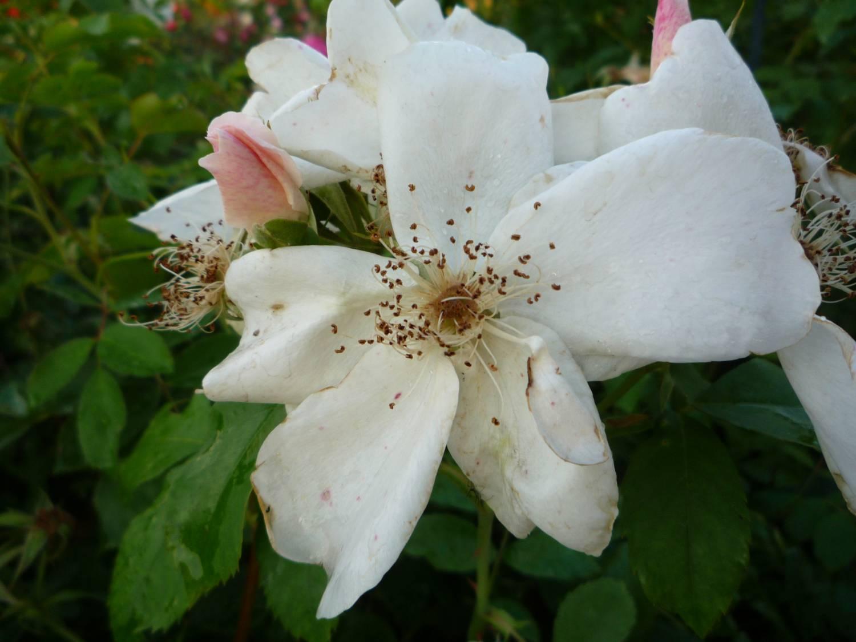 Роза морден сноу бьюти