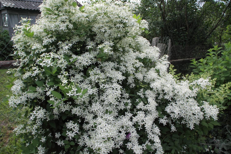 Клематис маньчжурский выращивание из семян отзывы 39