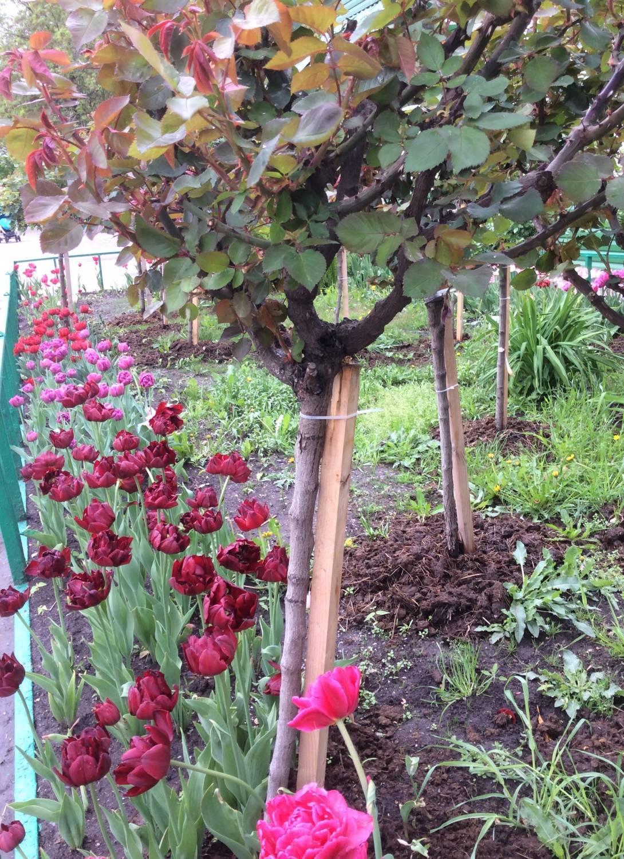 Как вырастить штамбовую розу своими руками 43