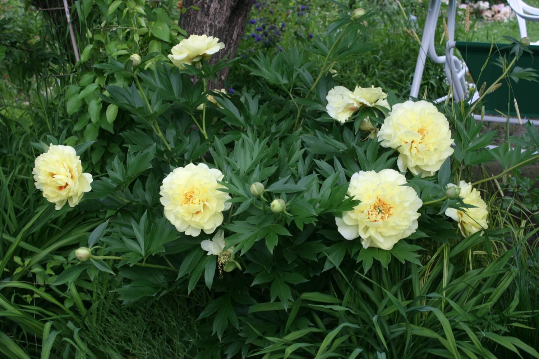 Как правильно посадить пионы летом, в августе на дачном участке 25